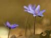 anemone-hepatica_img_5459