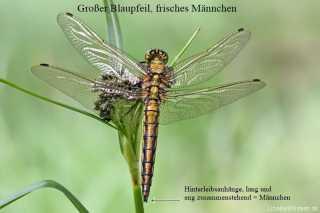 Geschlechtsbestimmung bei frischen Libellen - male - Orthetrum cancellatum