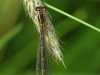 Coenagrion_mercuriale_female_Bernd_Cegielka