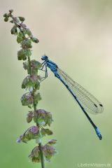 Coenagrion puella