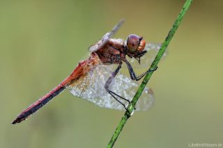 Sympetrum flaveolum - male, early in the morning