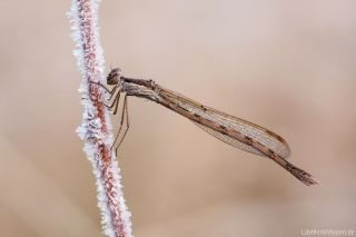 Sympecma fusca - female - ice_img_46