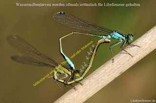 Ischnura elegans mit Wassermilbenlarven der Gattung Arrenurus