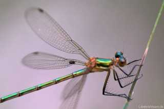 Lestes sponsa mit Gnitze auf dem Flügel