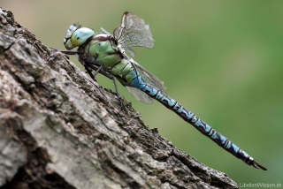 Aeshna viridis - male_lw_3502