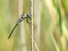 Aeshna affinis - male_IMG_330