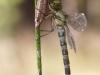 Aeshna cyanea - female IMG_4500