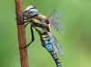 Aeshna mixta_male_2482