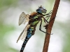 Aeshna mixta_male_img_2486