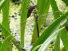 Aeshna viridis