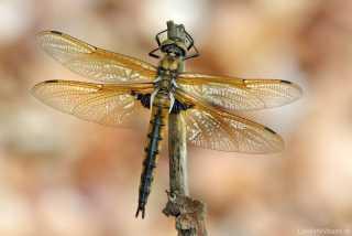 Epitheca bimaculata - female_img_3550