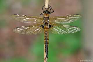 Epitheca bimaculata - Anisoptera