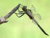 Somatochlora flavomaculata - Großlibellen - Falkenlibellen