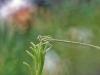 Platycnemis pennipes auf Sumpfporst