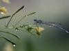 Platycnemis pennipes aus der Familie Federlibellen