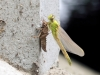 Ophiogomphus cecilia - female emergence at a bridge pier _IMG_2091