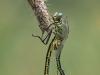 Gomphus pulchellus Kopula / by Christian Dreifert