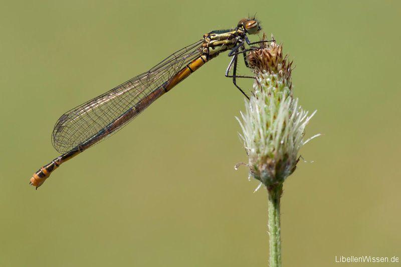 Balkan adonislibelle pyrrhosoma elisabethae for Minimal art merkmale