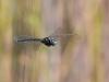 Aeshna serrata - male / by Erland Refling Nielsen