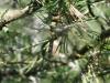 Somatochlora arctica - female / by Julia Wittmann from Munich