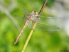Sympetrum sinaiticum - female / by Adriá Miralles from Barcelona