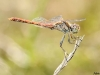 Sympetrum sinaiticum - male / by Adriá Miralles from Barcelona (Spain) 1