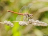 Sympetrum sinaiticum - male / by Adriá Miralles from Barcelona (Spain) 3