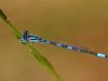 Coenagrion caerulescens - male 2/ by Erland Refling Nielsen from Danmark
