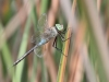 Anax parthenope - male_2_IMG_4220