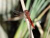 Crocothemis erythraea - male_IMG_3482