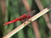 Crocothemis erythraea - male_IMG_3487