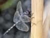 Zygonyx torridus - male _IMG_3669