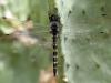 Zygonyx torridus - male _IMG_3713