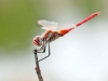 Sympetrum fonscolombii - male _IMG_3937