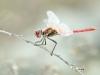 Sympetrum fonscolombii - male _IMG_3953
