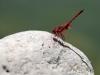 Trithemis arteriosa - male_I_352..