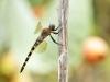 Zygonyx torridus - female_IMG_