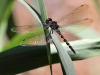 Zygonyx torridus - male_IMG_3_150910