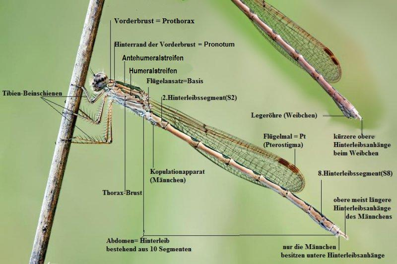 Der Körperbau einer Libelle | LibellenWissen.de