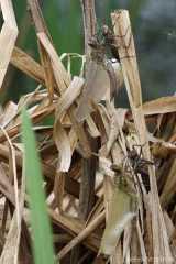 Falkenlibelle und Vierfleck