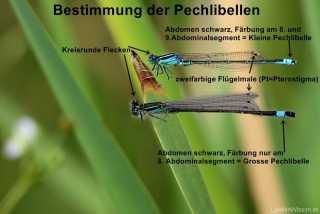 Ischnura elegans und Ischnura pumilio im Vergleich