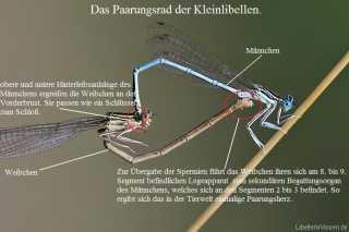 Kleinlibellen-Kopula