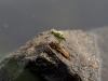 Schlupf einer Flussjungfer in waagerechter Position (2)- Asiatische Keiljungfer
