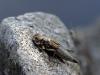 Schlupf einer Flussjungfer in waagerechter Position - Asiatische Keiljungfer