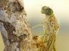 Coenagrion puella-Schlupf