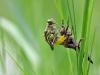 Flussjungfern haben sich an ihren Lebensraum angepasst. Wird ein Fliessgewässer von Vegetation umsäumt, wird diese genutzt und die Libelle verankert sich Senkrecht , wie es am Beispiel der Segellibellen gezeigt wurde.