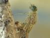 Schlupf einer Kleinlibelle - Hufeisen-Azurjungfer