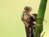 Pyrrhosoma nymphula -Metamorphose