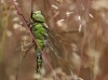 Aeshna viridis - juvenil - male