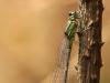 Coenagrion pulchellum - female